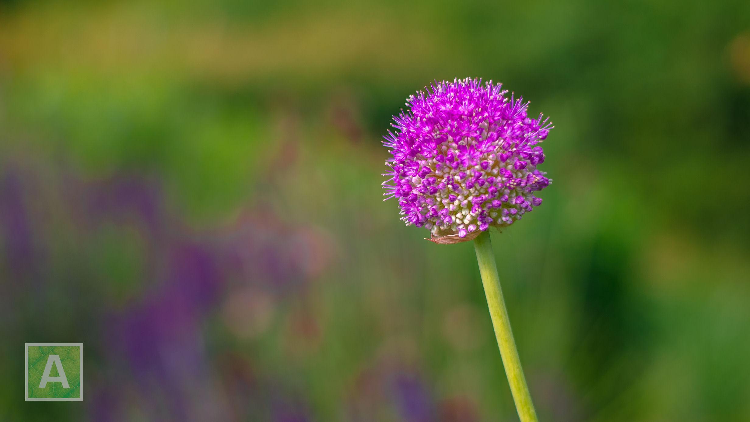 Allium giganteum, sierui, vaste plant, look, donkerroze