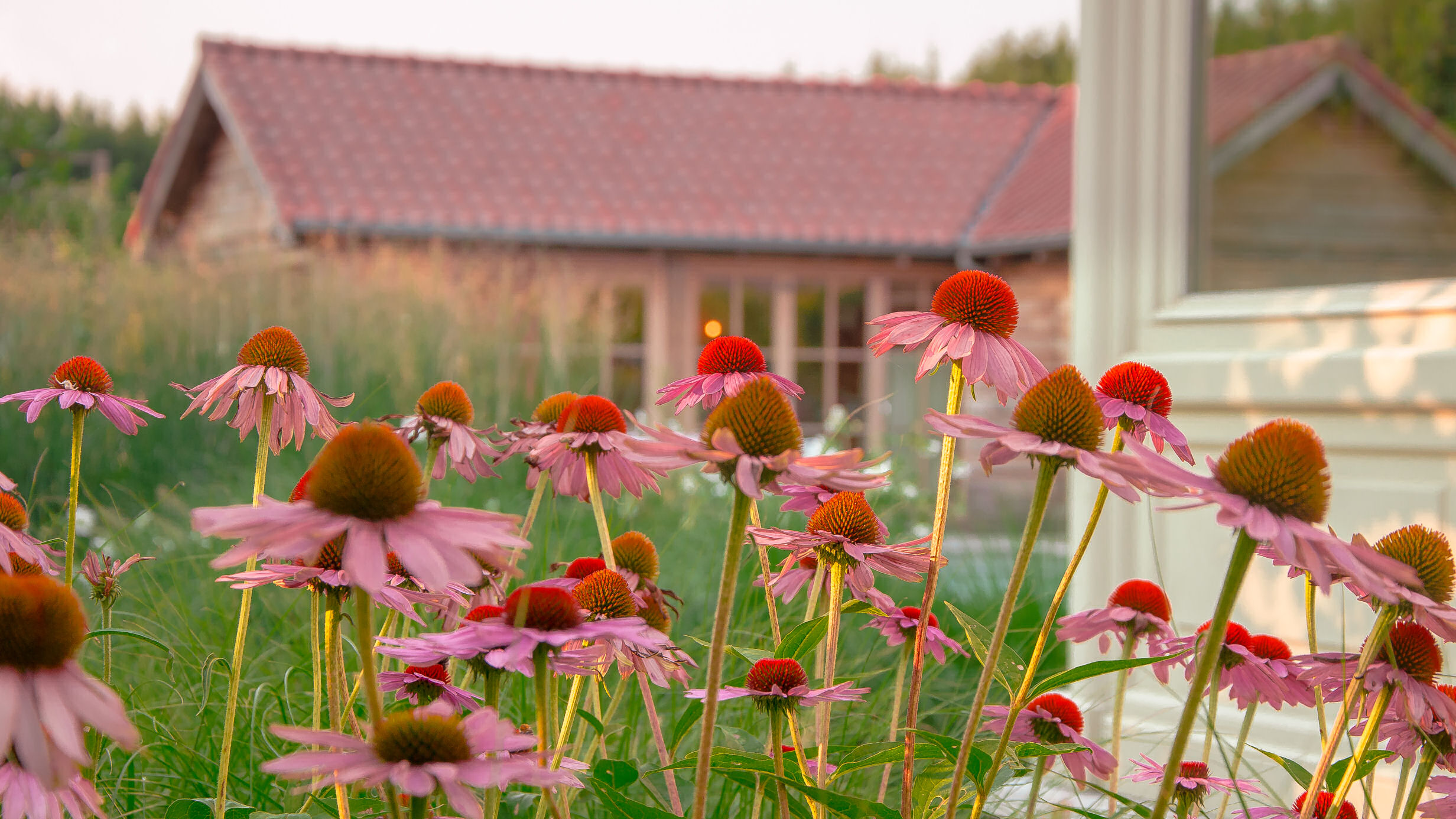 Echinacea purpurea 'Hot Summer', zonnehoed, tuinaanleg, aanplanting