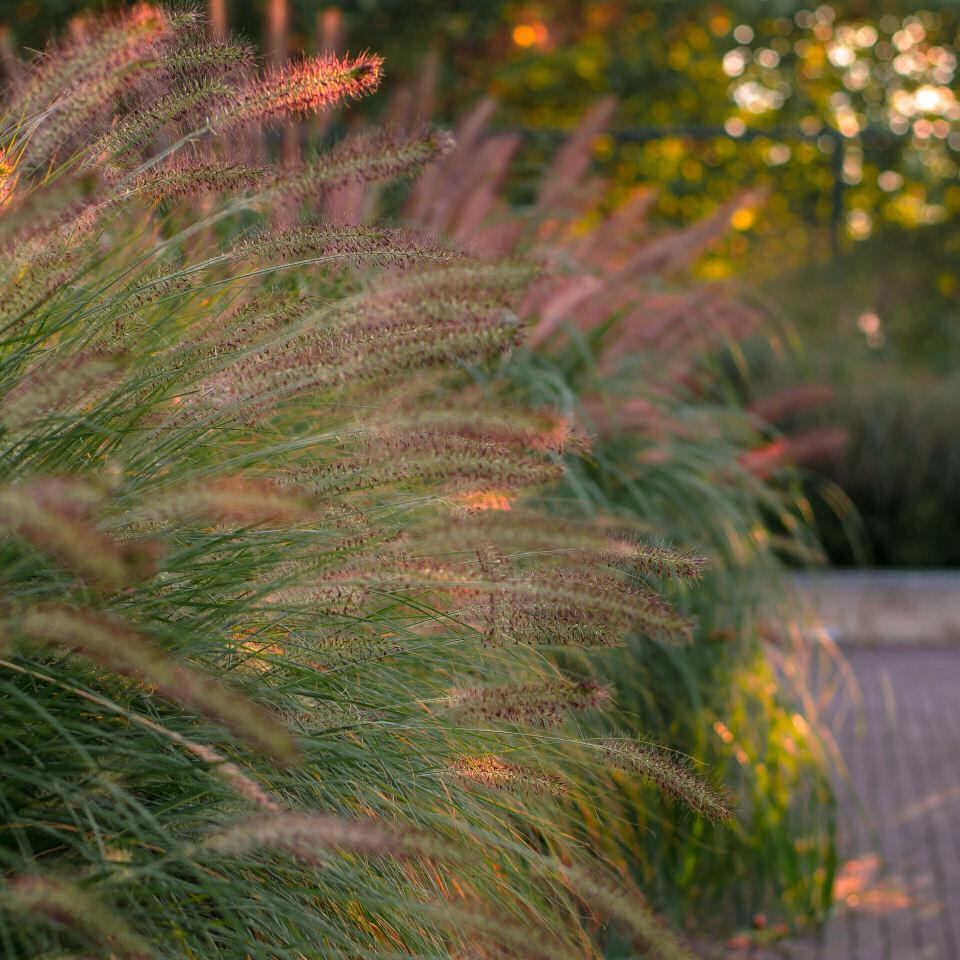 siergras, tuin, lampenpoetsersgras, Pennisetum, halmen