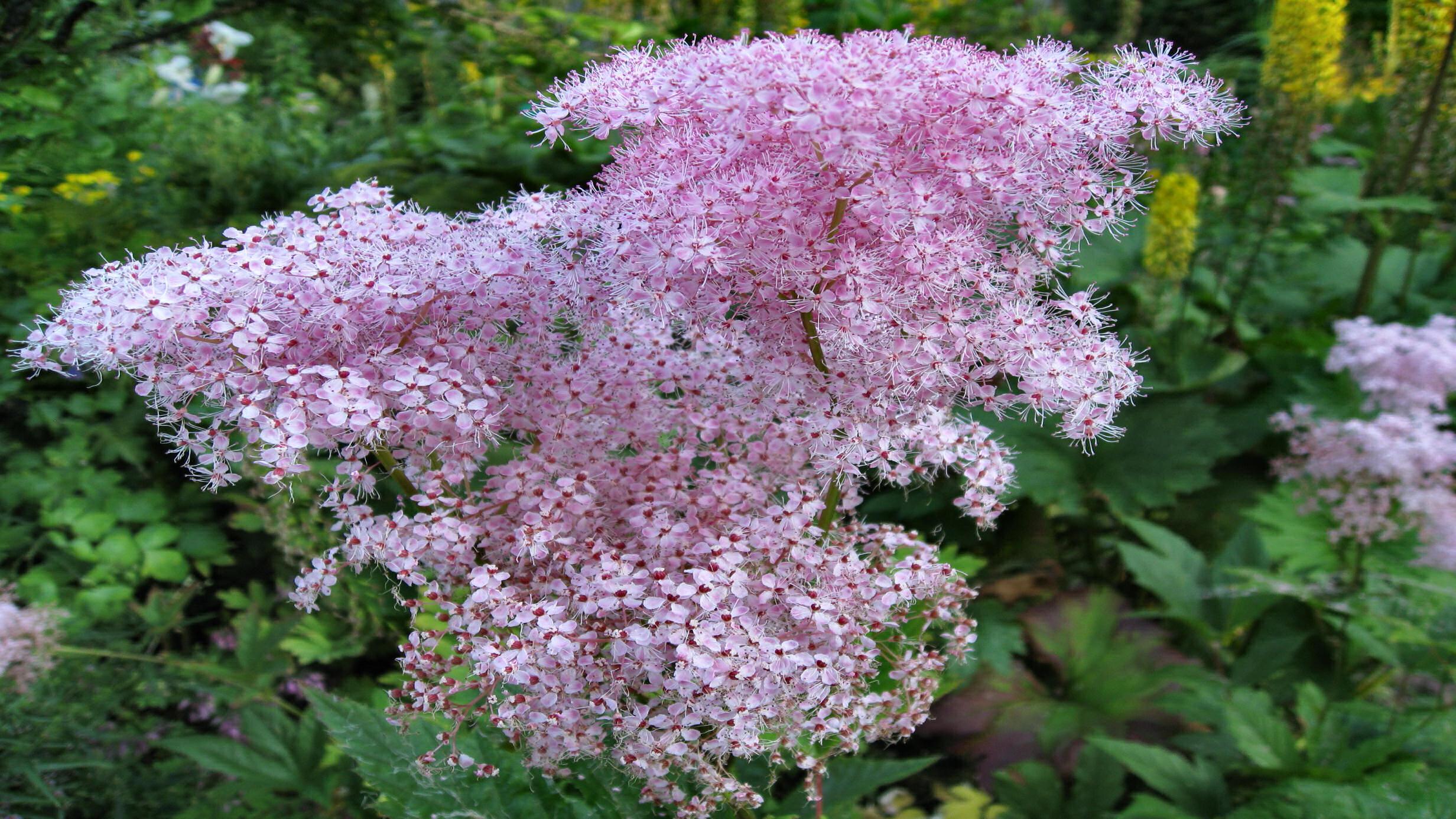 Filipendula rubra 'Venusta', spirea, moerasspirea, vaste plant, roze
