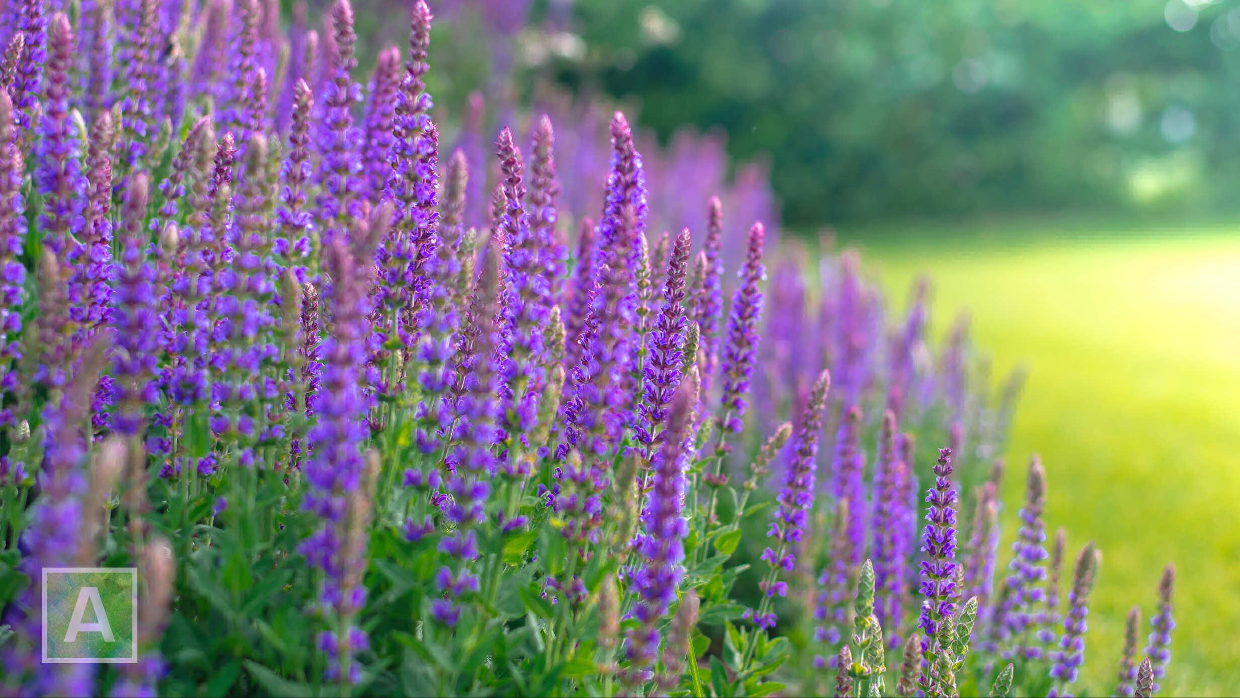 Salvia nemorosa 'Caradonna', salie, vaste plant, violet, blauw