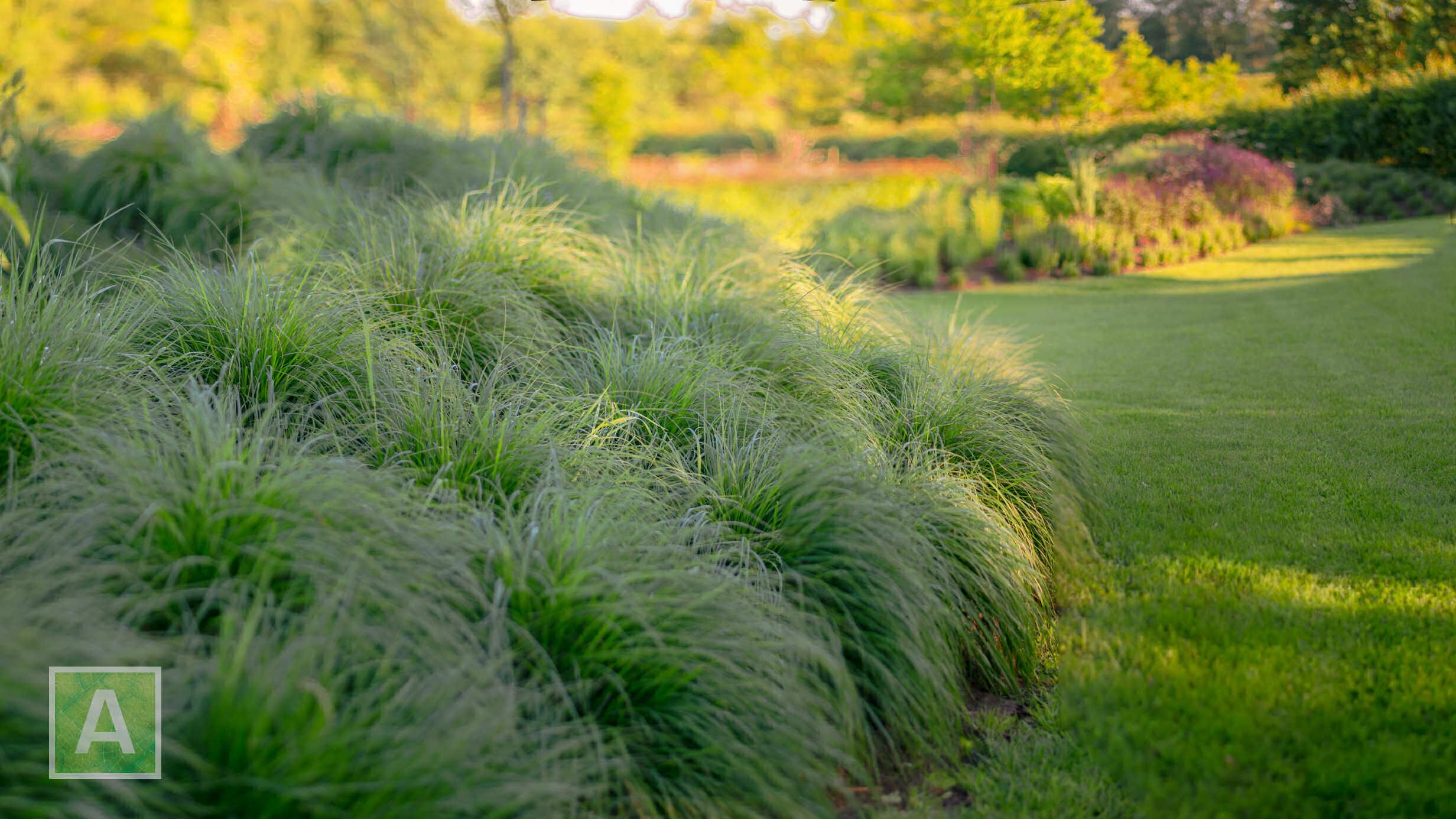 Sporobolus, grassenheuvel, siergras, bodembedekker, aanplanting